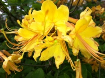 Yellow Azalea