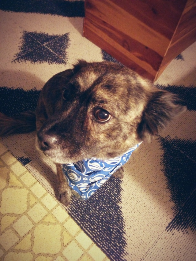 Maggie the dog wearing an Obama logo bandana